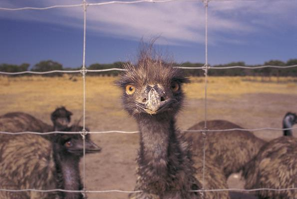 Emus: a great place to visit in Victor Harbor.  Image &copy SATC; Barry Skipsey. This photo sponsored by Swimming Pool Maintenance &-or Repairs Category.