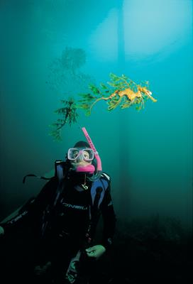 Diving with Leafy Seadragons: a great place to visit in Victor Harbor.  Image &copy SATC; Alex Wyschnja. This photo sponsored by Media Category.