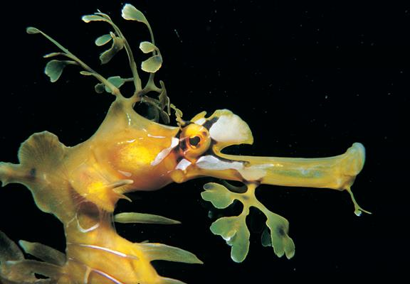 Leafy Seadragon: a great place to visit in Victor Harbor.  Image © SATC; Alex Wyschnja. This photo sponsored by Furniture - Office Category.