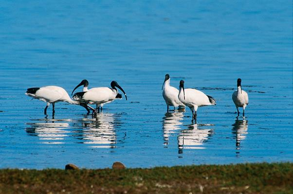 Ibis in the Fleurieu: a great place to visit in Victor Harbor.  Image © Fleurieu Peninsula Tourism; Johnny . This photo sponsored by Recruitment and Training - Consultants Category.