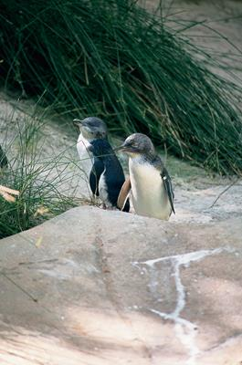 Penguins on Granite Island: a great place to visit in Victor Harbor.  Image © Fleurieu Peninsula Tourism; Johnny . This photo sponsored by Firewood Category.
