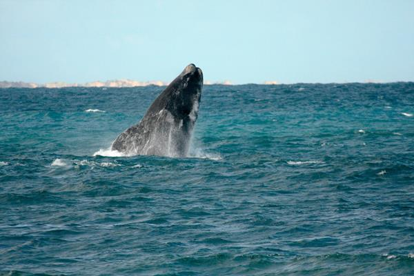 Whale Watching: a great place to visit in Victor Harbor.  Image © SATC; Gary Riley. This photo sponsored by Brokers Category.
