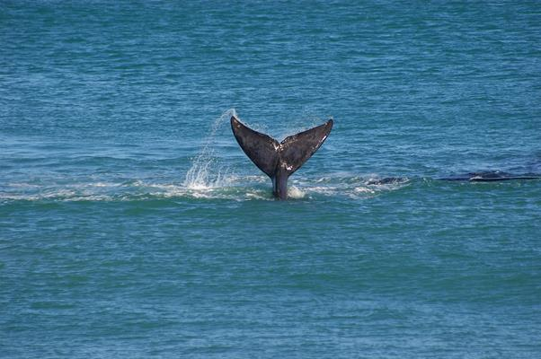 Whale Watching: a great place to visit in Victor Harbor.  Image &copy SATC; Robert Dunn. This photo sponsored by Ladies fashion Category.