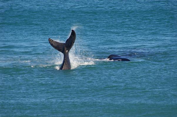 Whale Watching: a great place to visit in Victor Harbor.  Image © SATC; Robert Dunn. This photo sponsored by Restaurants Category.