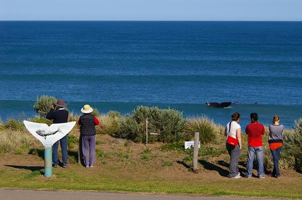Whale Watching: a great place to visit in Victor Harbor.  Image © SATC; Robert Dunn. This photo sponsored by Security - Systems Category.